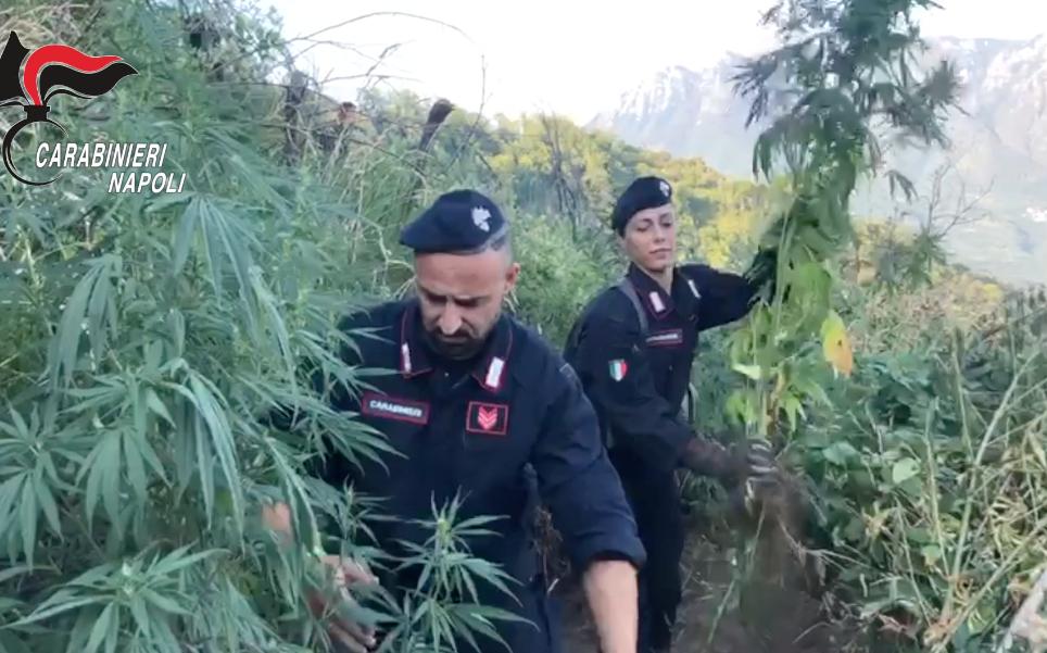 cannabis-piantagione