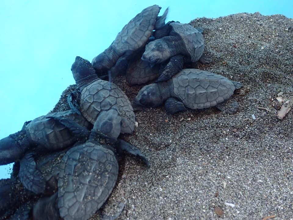 tartarughe-punta-campanella